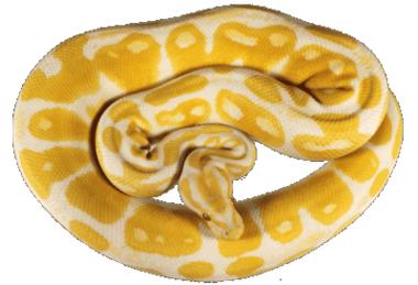 Pitón amarilla