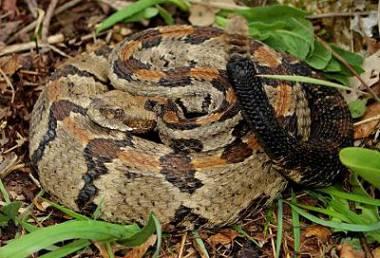 Serpiente de cascabel de madera