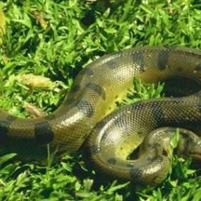 anaconda manchas oscura