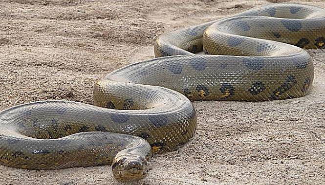 verde anaconda gigante
