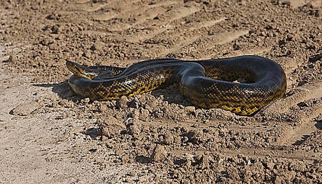 anaconda amarilla del uruguay