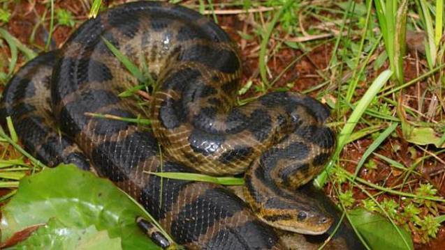 anaconda mancha negra