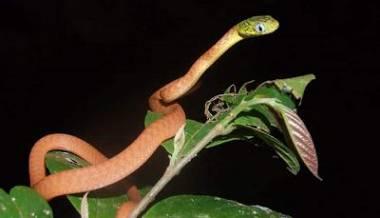 serpiente gato verde