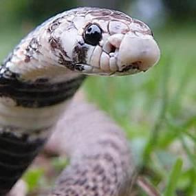 serpiente nariz de escudo