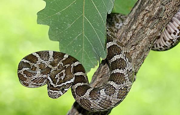 serpiente ratonera de las planicies