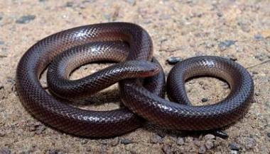 serpiente estilete