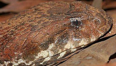 víbora de la muerte común (Acanthophis antarcticus)