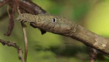 Serpiente nariz de hoja