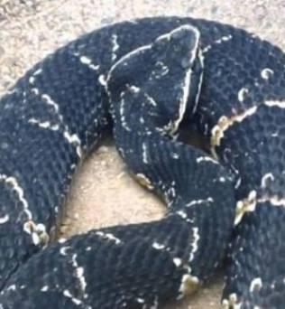 Serpiente de Taylor en la naturaleza
