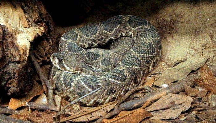 Una serpiente Crotalus adamanteus